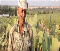 فيديو| «فاكهة الغلابة»..المزارعون يتحدون الحر والأشواك لجمع «التين الشوكي»