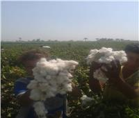 صور| «الزراعة»: لجان المكافحة تتفقد زراعات القطن بمحافظة بني سويف