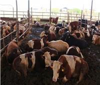 بأسعار مخفضة.. طرح رؤوس ماشية قبل عيد الأضحى
