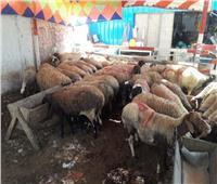 «الزراعة» تتابع شوادر بيع الأضاحى بالمحافظات حتى أيام التشريق