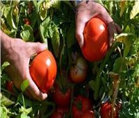 «الزراعة» توضح سبب ارتفاع أسعار الطماطم بالأسواق