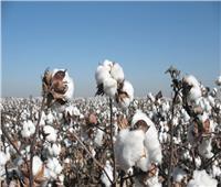 «الزراعة» تضمن جمعية منتجي القطن لدى البنوك دعماً لمبادرة شراء القطن المصري