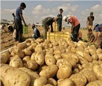 «البطاطس» تدخل دائرة الأزمات..بعد اشتعال أسعارها بالأسواق