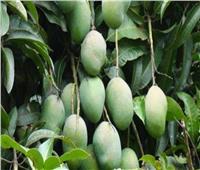 10 نصائح لمزارعي «حدائق المانجو» وكيفية التعامل مع الأشجار في الشتاء