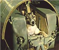 لايكا.. كلبة «ضالة» دفعت بالبشر نحو الفضاء
