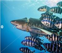 صور| إنقاذ سمكة قرش بإزالة طوق من رقبتها بعد سنوات بالبحر الأحمر