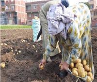 مزارعو الغربية يتوقعون انخفاض أسعار البطاطس لـ3جنيه