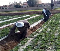 صور| الزراعة تواصل مكافحة الآفات بمحصول الفراولة في محافظة القليوبية