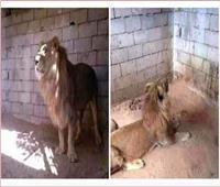 حديقة الحيوان تناشد المواطنين بالإبلاغ عن بائع «أسد» أسيوط عبر «فيسبوك»