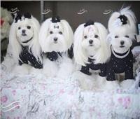 أكل الكلاب في كوريا «الحقيقية والخيال».. وغضب من الشائعات