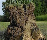 اكتشافُ سلحفاة تحملُ طبقة طينية بنباتاتها على ظهرها