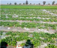 صور| حملات مرور على زراعات «الفراولة» لتقديم النصائح للمزارعين