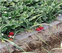 صور| «الزراعة» تواصل حملات مكافحة الآفات والاطمئنان على محصول الفراولة