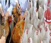 الزراعة تواصل فحص مزارع الدواجن ضد أنفلونزا الطيور بالمحافظات