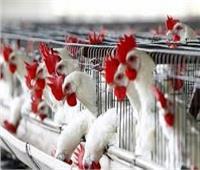 فيديو| الزراعة تكشف موعد منع تداول وبيع الطيور الحية