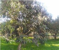 صور| حملات مكثفة من «الزراعة» على حدائق المانجو لمكافحة العفن الهبابي