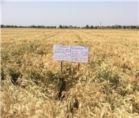 حصاد 2018| «البحوث الزراعية» تنشأ 370 حقلا تعليميا لزراعة القمح