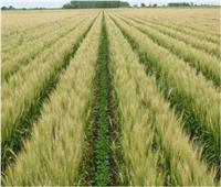 «الزراعة»:2.8 مليون فدان حجم المساحات المنزرعة بمحصول القمح حتى الآن