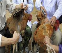 «الزراعة»: تحصين 4 ملايين طائر ضد الأنفلونزا بالمحافظات