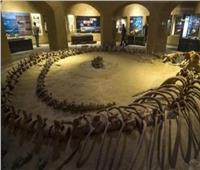 حقيقة سرقة حفريات نادرة من المتاحف البيئية