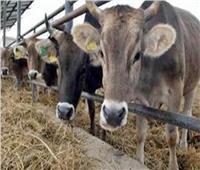 «الزراعة»: إعداد وتجهيز برنامج «التلقيح الاصطناعي» للماشية بالمحافظات