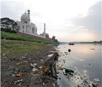 الشرطة الهندية تطارد القرود في تاج محل.. بالنبال