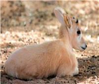 ورد ذكره في التوراة.. ولادة حيوان مهدد بالانقراض في الجيزة