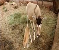 بالفيديو| مولود جديد لحيوان «أبو عدس» المهدد بالانقراض.. صاحب الألوان المتغيرة