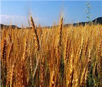 الزراعة: 3 ملايين و81 ألف فدان حجم المساحات المنزرعة بالقمح حتى الآن