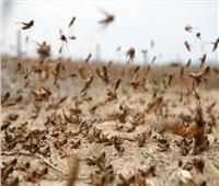 «مكافحة الآفات والحشرات»: قضينا على سرب جراد بمنطقة أبو رماد