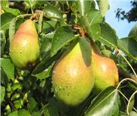 7 نصائح لمزارعي «التفاح والكمثري» لزيادة الإنتاج خلال فبراير