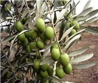لمزارعي «حدائق الزيتون».. اتبع هذه النصائح لزيادة الإنتاج خلال فبراير