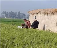 «الزراعة» تتابع محصول القمح ومكافحة الآفات بكفر الشيخ