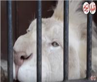 فيديو| حسين فهمي.. أسد أبيض يخطف أنظار رواد حديقة الحيوان