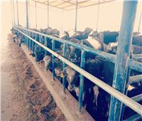 «أبوستيت» يتفقد المزرعة النموذجية لتربية الجاموس المحسن وراثيا بالمنيا
