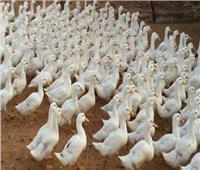 فيديو| الزراعة تعلن إنتاج لقاح «الديرزى» لتحصين البط محليًا