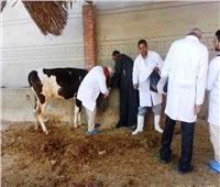 تحصين ١٤٢ ألف رأس ماشيةبالشرقية ضد الحمى القلاعية