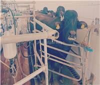 فيديو| «بوابة أخبار اليوم» داخل المزرعة النموذجية لتربية الجاموس المحسن وراثيا بالمنيا