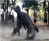 فيديو| معركة شرسة بين تنيني «كومودو»