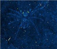 علماء يكتشفون عناكب نادرة ذات عيون متوهجة