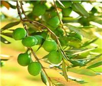 لمزارعي الزيتون.. نصائح لحماية المحصول من التغيرات المناخية