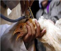 التقصي النشط والأمن الحيوي والتحصين.. إجراءات الزراعة لمواجهة «أنفلونزا الطيور»