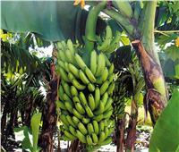لمزارعي الموز..8 نصائح تجنب المحصول الإصابة بمرض تورد القمة والتبرقش