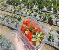 تعرف على أبرز الإرشادات لمزارعي الفراولةللحفاظ على الإنتاج خلال مارس