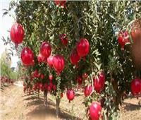 تعرف على توصيات الزراعة لمزارعي «الرمان» في مارس