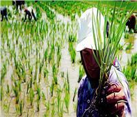 الأصناف الجديدة للأرز كلمة السر في رفع المساحات المنزرعة العام المقبل
