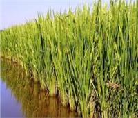 أبوستيت: زيادة في مساحة زراعة الأرز الموسم الجديد