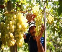 لمزارعي العنب..8 توصيات للتعامل مع الأشجار خلال أبريل المقبل