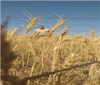 بدء حصاد القمح والشعير بمحافظة البحر الأحمر