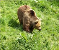 شاهد| أخطر الحيوانات على حياة الانسان في روسيا